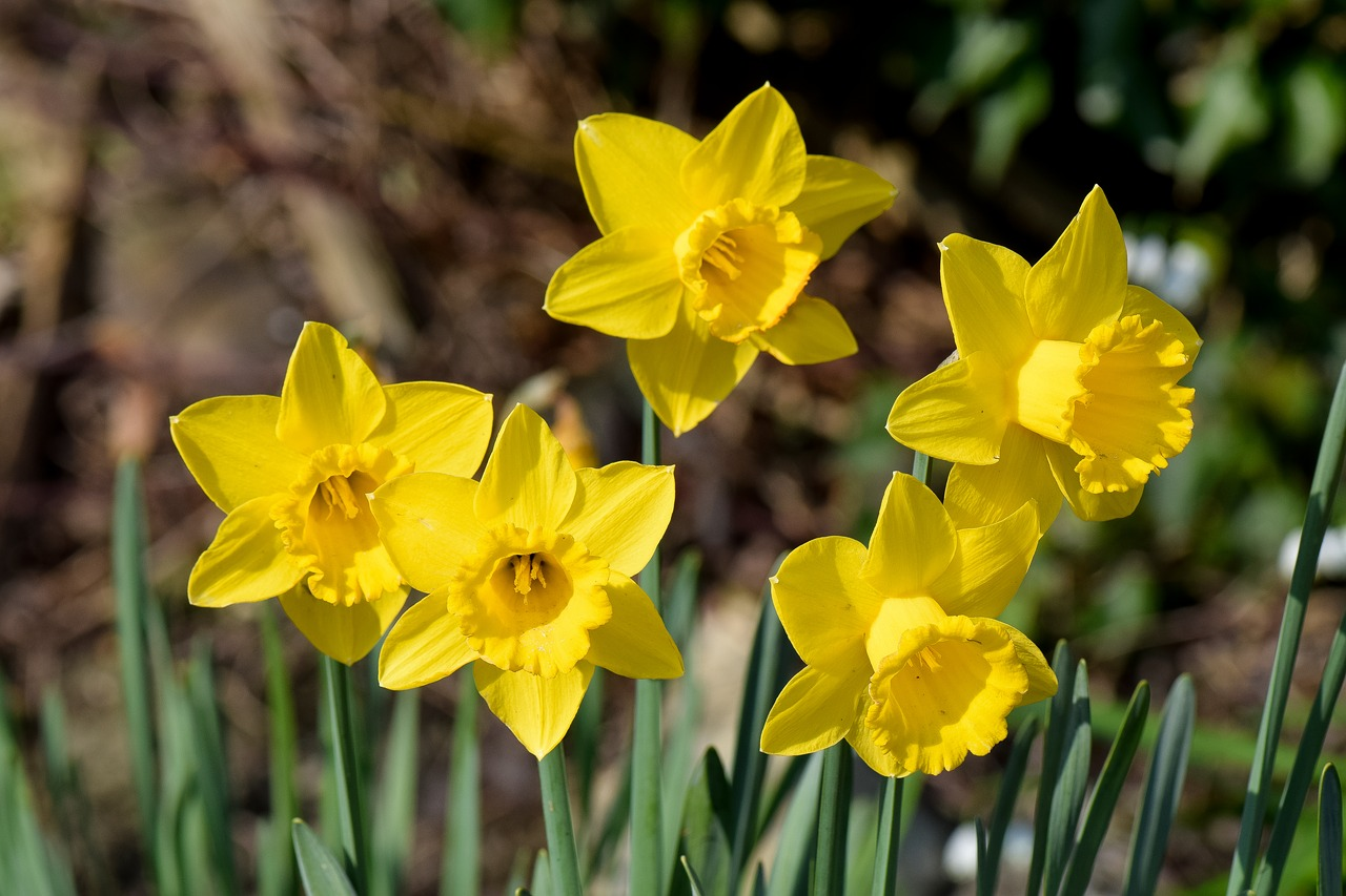 daffodils flowers spring nature public domain image - FreeIMG